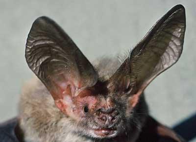 cover-long-eared-bat
